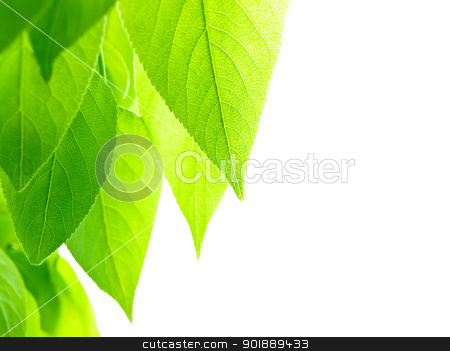 green leaves stock photo, green leaves over white background with copy space for text by Sergej Razvodovskij