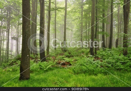 Fog in the forest stock photo, Fog in the spring green forest after the rain by Ondrej Vladyka