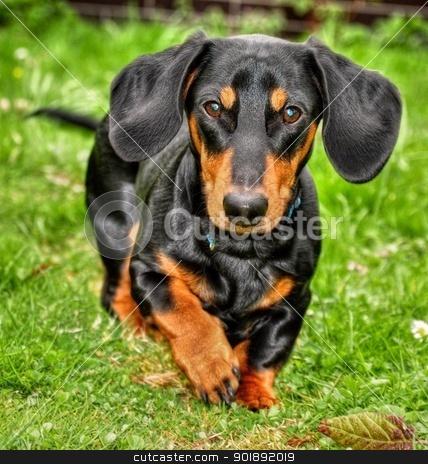 Dachshund  stock photo, Black dachshund running on the grass by Ondrej Vladyka