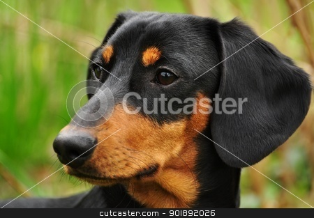 Dachshund stock photo, Beautiful view of the small black dachshund by Ondrej Vladyka