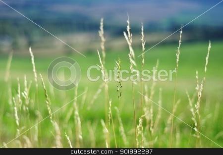 Grass background stock photo, The stalks of grass on blurred background by Ondrej Vladyka
