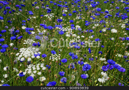 Blue and white flowers in a field stock photo, Blue and white flowers in a field by photography33
