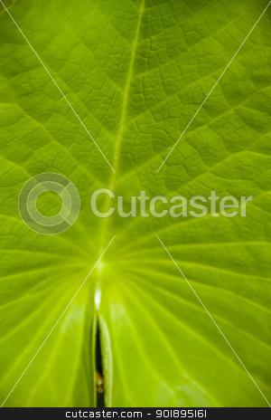 lotus leaf green background stock photo, lotus leaf green background by jukree