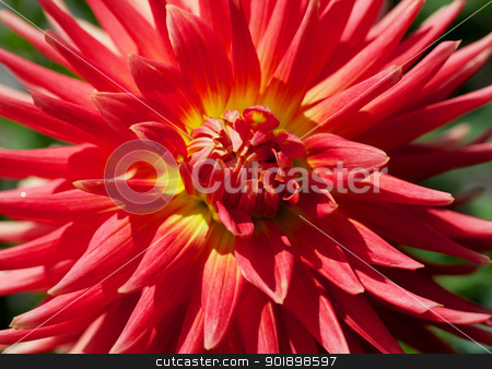 Yellow and Red Dahlia stock photo, Close up of a Yellow and Red Dahlia with green background by bobkeenan