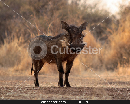 Large Alert Warthogs Male in Clearing stock photo, Large Alert Warthog Male Standing in Clearing by Snap2Art