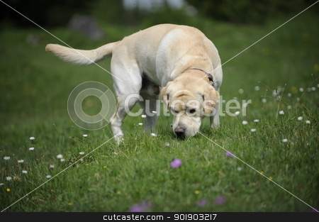 labrador on a hayfield stock photo, labrador sniffing on a hayfield by Michael Jenewein