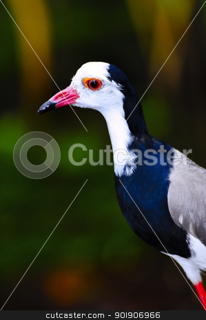 northern long toed lapwing stock photo, Portrait of a northern long toed lapwing by Don Fink