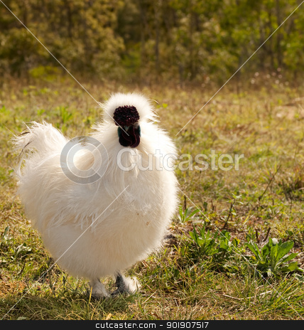 White chicken silkie bantam rooster organic lifestyle stock photo, White live single young chicken, male silkie bantam rooster, organic lifestyle by sherjaca