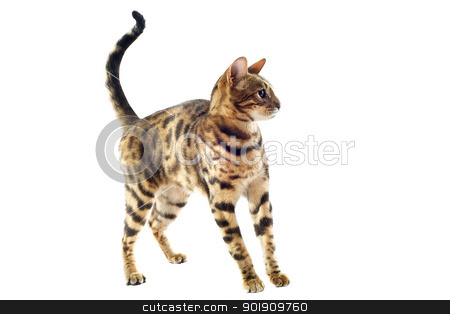 bengal kitten stock photo, portrait of a purebred  bengal kitten on a white background by Bonzami Emmanuelle