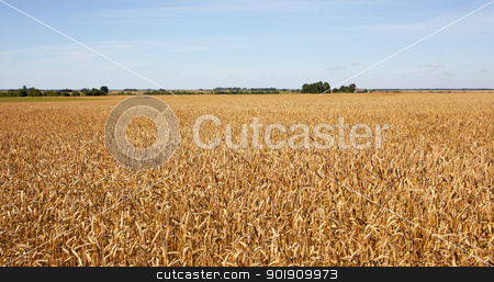 Harvest-2012. Wheat field background. stock photo, A field of wheat on blue sky background. by Rimantas Abromas