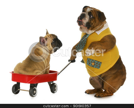 dog pulling a wagon stock photo, dog pulling a wagon - english bulldog pulling a wagon with a french bulldog in it on white background by John McAllister
