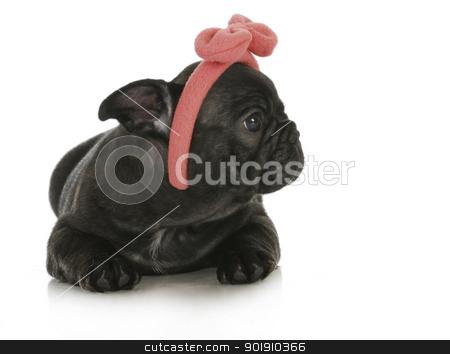cute female french bulldog stock photo, cute female puppy - french bulldog puppy wearing pink head band - 8 weeks old by John McAllister
