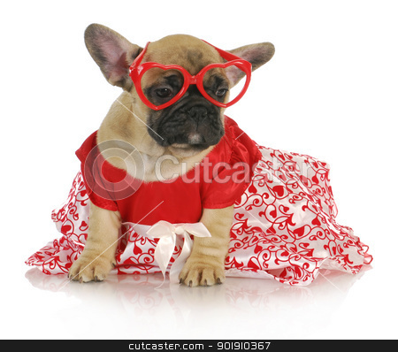 female french bulldog stock photo, female french bulldog wearing heart glasses and red party dress - 8 weeks old by John McAllister
