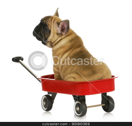 puppy in a wagon stock photo, puppy in a wagon - french bulldog sitting in a red wagon - eight weeks old  by John McAllister