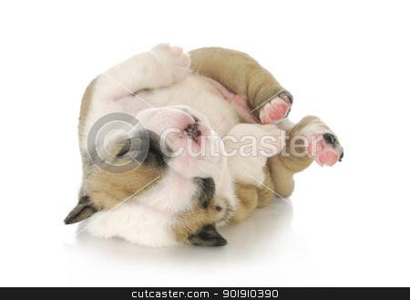 newborn puppy stock photo, puppy upside down - cute english bulldog puppy upside down - 3 weeks old by John McAllister