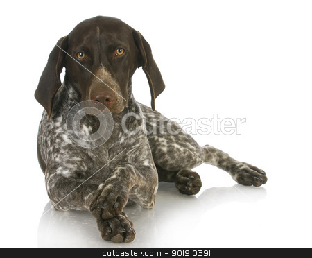 cute dog stock photo, german short haired pointer with paws crossed on white background - 4 months old by John McAllister