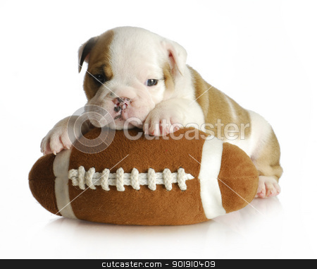 cute puppy stock photo, cute puppy with stuffed football - english bulldog 5 weeks old by John McAllister