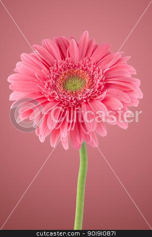 Pink gerbera daisy flower stock photo, Pink gerbera daisy flower on pink background. by Homydesign