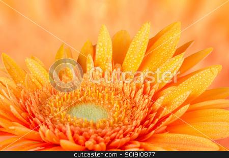 Orange gerbera daisy  stock photo, Orange gerbera daisy closeup on orange defocused background. by Homydesign