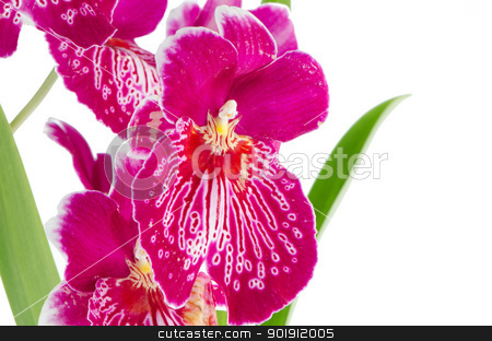 Pansy Orchid - Miltonia Lawless Falls  stock photo, Closeup of beautiful Pansy Orchid - Miltonia Lawless Falls  flowers. by Homydesign