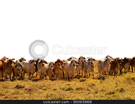Beef Cattle Herd of brahman cows isolated background stock photo, Australian Beef Cattle Herd of brown and grey brahman cows isolated against white background by sherjaca