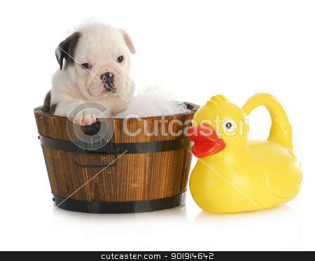 puppy bath time stock photo, puppy bath time - english bulldog puppy in wooden wash basin with soap suds and rubber duck by John McAllister