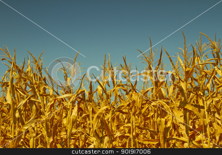 Corn field stock photo, Top of plants in a corn field by Fabio Alcini