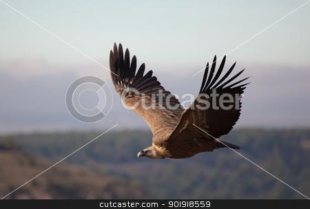 Vulture in las Hoces del Duraton, Segovia, Spain stock photo, Vulture in las Hoces del Duraton, Segovia, Spain by B.F.
