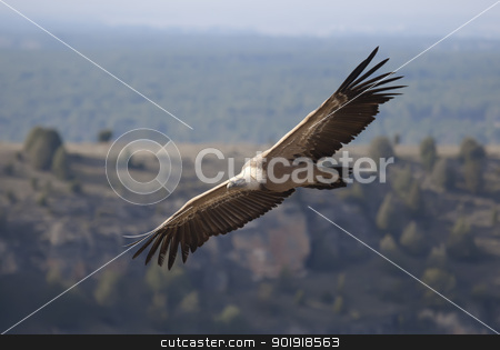 Vulture in las Hoces del Duraton, Segovia, Spain stock photo, Vulture in las Hoces del Duraton, Segovia, Spain by B.F.