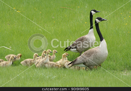 Two Adult Canada Geese with a Gaggle of Goslings stock photo, Two adult Canada Geese with a gaggle of young goslings walking across a field in spring in Winnipeg, Manitoba, Canada by Robert Hamm