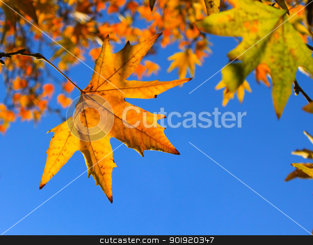 Autumn Leaves  stock photo, Autumn leaves against blue sky - Selective focus on the left leaf by Niloo