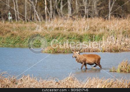 Deer in Salburua, Vitoria, Alava, Spain  stock photo, Deer in Salburua, Vitoria, Alava, Spain by B.F.