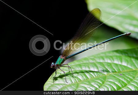 Closeup of dragonfly Calopteryx virgo stock photo, Macro of female damselfly (calopteryx virgo) on leaf by chatchai