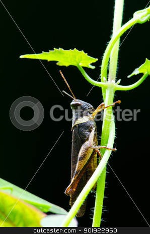 Grasshopper on the leaf. stock photo, Closeup view of the grasshopper on the leaf. by chatchai
