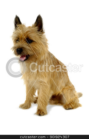 Puppy stock photo, Sweet sad dog is sitting on a white background. The breed of the dog is a Cairn Terrier. by Lars Christensen