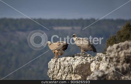 Pair of vultures, Hoces del Duraton, Segovia, Spain stock photo, Pair of vultures, Hoces del Duraton, Segovia, Spain by B.F.