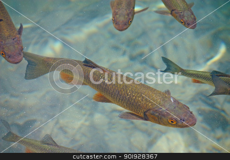 Big trout stock photo, Big trout swimming in crystal clear water of Plitvice Lakes by Borislav Marinic