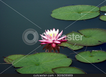 lotus stock photo, Lotus in a pond with giant lily pads by Cora Reed