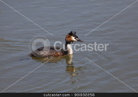 Podiceps cristatus, Salburua, Vitoria, Alava, Spain stock photo, Podiceps cristatus, Salburua, Vitoria, Alava, Spain by B.F.