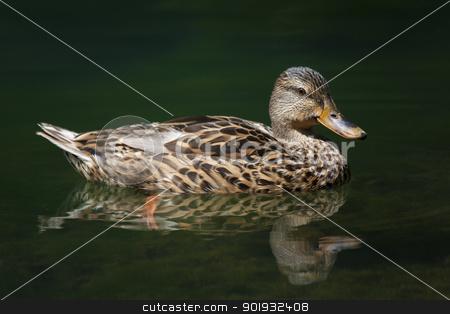 Duck, Ebro river, Fontibre, Campoo de Suso, Cantabria, Spain stock photo, Duck, Ebro river, Fontibre, Campoo de Suso, Cantabria, Spain by B.F.
