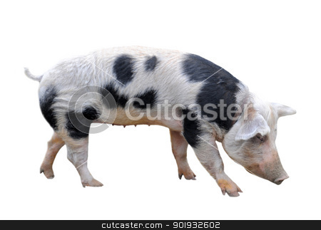 Bayeux pig stock photo, Bayeux pig in front of white background by Bonzami Emmanuelle