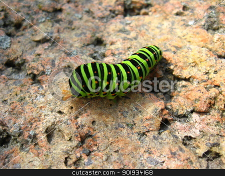 Caterpillar of the butterfly  machaon on the stone stock photo, The image of caterpillar of the butterfly  machaon on the stone by Alexander Matvienko