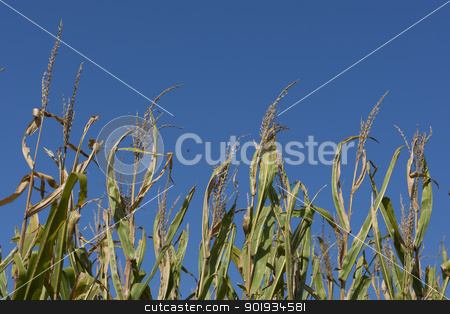 Iowa Cornfields stock photo, A field of corn in early September, ready for harvest. by Walter Arce