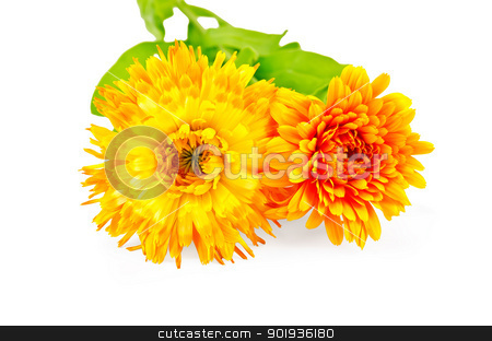 Calendula terry stock photo, Two flowers of calendula terry yellow and orange with green leaves isolated on white background by rezkrr