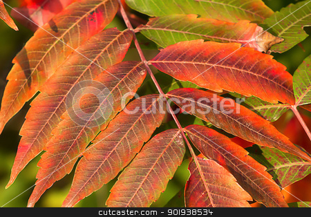 Crimson Red Sumac in Autumn stock photo, Leaves of the Sumac Shrub Turns Crimson Red in Autumn by Ken Wolter