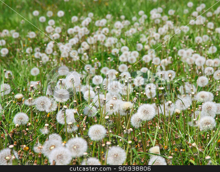 Summer  field  of  dandelions flowers stock photo, Summer  field  of  dandelions flowers by aarrows