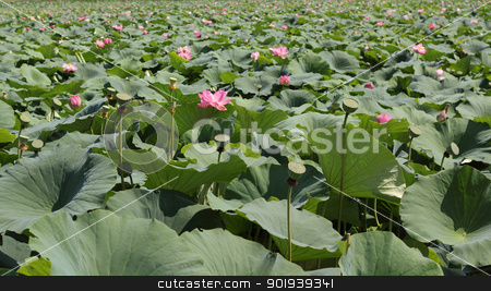 lotus flower blossom stock photo, lotus flower blossom by aarrows
