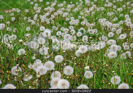 Summer  field  of  dandelions flowers stock photo, Summer  field  of  dandelions flowers by aarrows