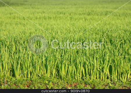 Green grass background texture straight stock photo, Green grass background texture straight by aarrows