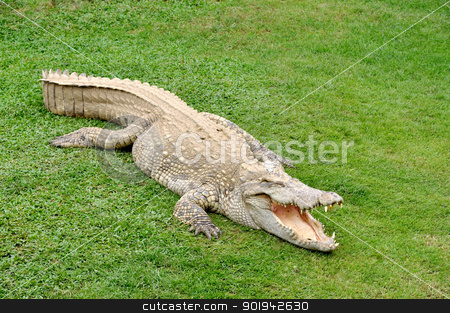 Crocodile stock photo, rocodile with open mouth at side of water on grass. by bigjom